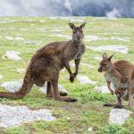 Kangaroos while looking at you at sunset in kangaroo island