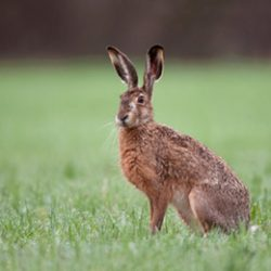 Wild brown hare sitting in a grass