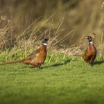 A pair of pheasants on the grass